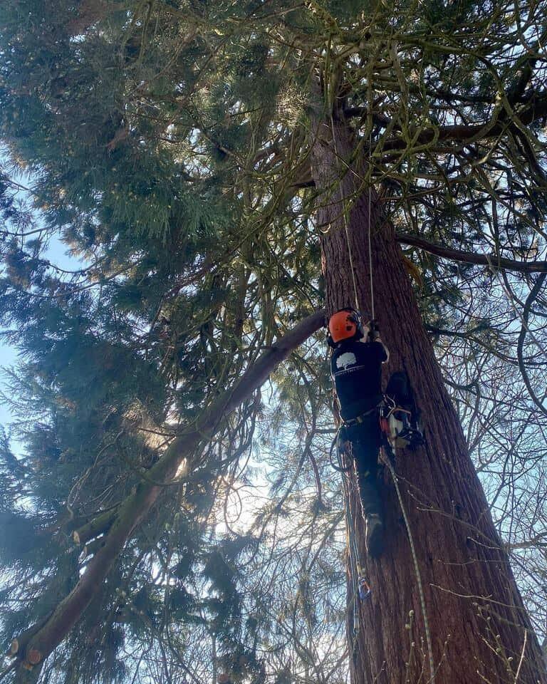 Ben Waterman tree surgeon climbing tree